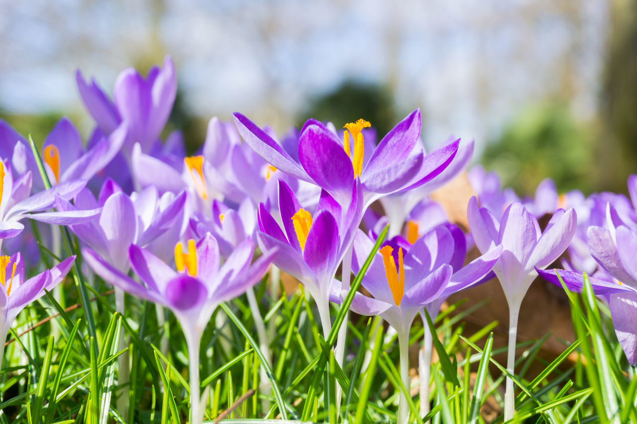 Crocuses in spring Beauty In Nature Blooming Close-up Colors Crocus Crocus Flower Crocuses Flower Head Flowers Freshness Garden Green Growing Growth Lilies Meadow Morning Nature Outdoor Petals Spring Spring Flowers Springtime Sunlight Violet