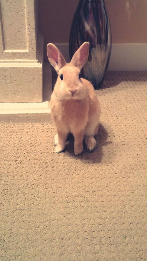 Handsome bunny posing for the camera Pets Adorable FLUFFY BUNNY Bunny 🐰 Cute Pets Love ♥ Big Ears