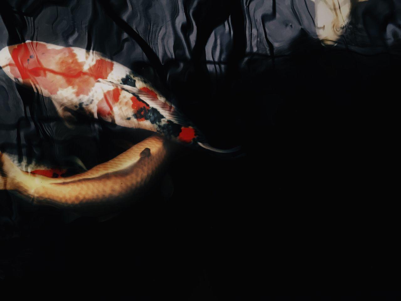 Sea Life Animal Themes Water Nature Pets Corner IPhoneography Pet Photography  Iphoneonly Japanese Fish No People Koi Fish Koi Pet