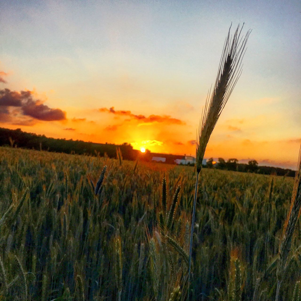 growth, sunset, crop, field, nature, cereal plant, agriculture, tranquil scene, farm, rural scene, beauty in nature, tranquility, wheat, plant, sky, scenics, ear of wheat, outdoors, landscape, no people, straw, grass, close-up, day