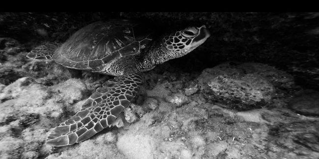 Honu Scuba Diving Underwater Underwater Photography Hawaii Blackandwhite Photography Underthesea