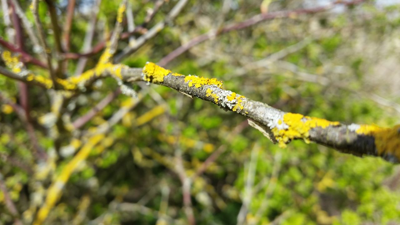 nature, day, outdoors, branch, no people, growth, beauty in nature, close-up, yellow, tree