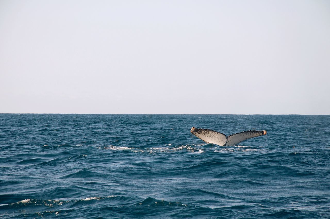 Beautiful stock photos of blue whale,  Animal Themes,  Beauty In Nature,  Blue,  Calm