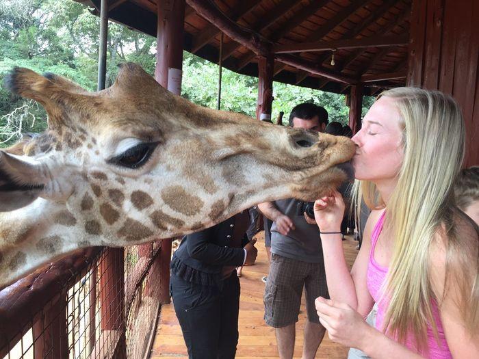 Kissing Giraffe