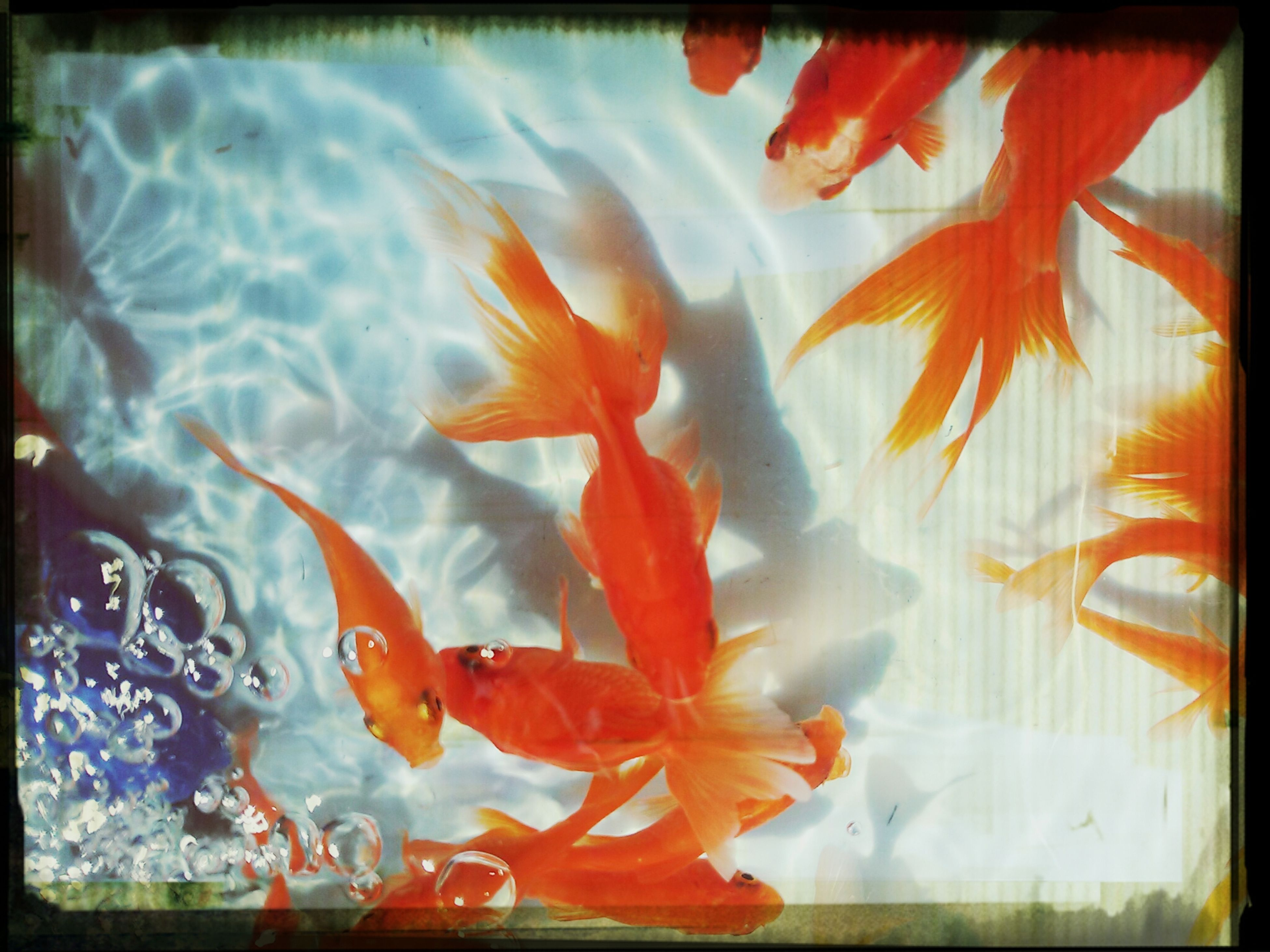 transfer print, auto post production filter, orange color, water, close-up, nature, no people, indoors, art and craft, red, day, beauty in nature, animal representation, creativity, high angle view, multi colored, animal themes, art, fish