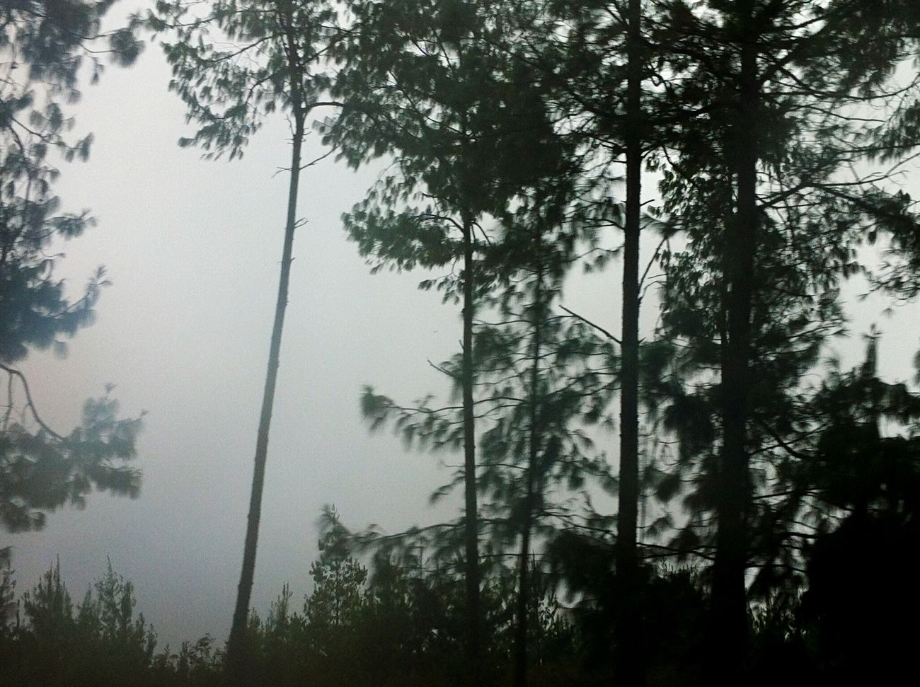 Forest Trees Nature Low Angle View Beauty In Nature Tranquility No People Scenics Outdoors Green Roadtrip Gray Day. Adventure Moments Lucky Shot Casualphotography Just Taking Pictures Amateurphotography Amazing Tree Rural Scene Little Foggy Foggy Growth