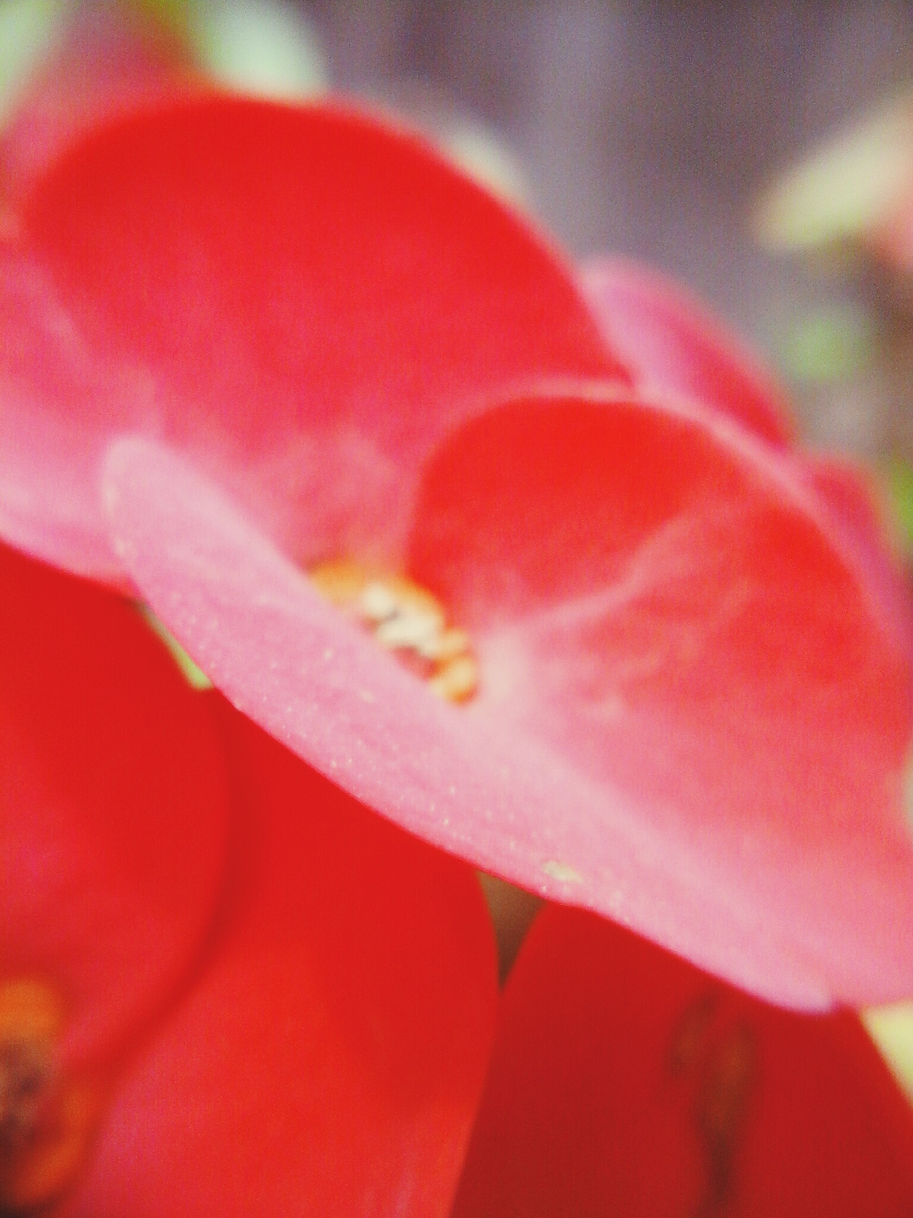 red, petal, freshness, flower, flower head, close-up, single flower, fragility, selective focus, beauty in nature, focus on foreground, macro, nature, extreme close-up, growth, vibrant color, pink color, drop, stamen, no people