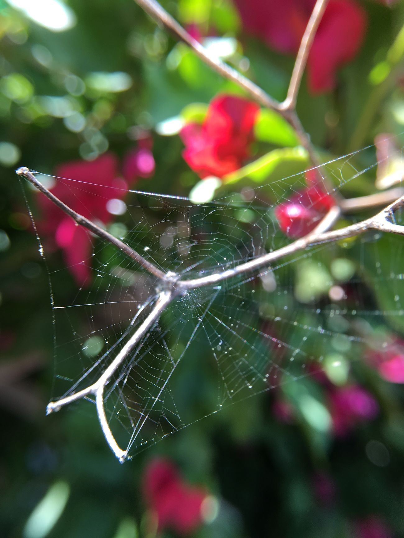 Spider Web Animal Themes One Animal Spider Close-up Nature Insect Animals In The Wild Fragility No People Beauty In Nature Day Web Survival Outdoors Animal Leg Macro Bougainvillea California Springtime Pink Color Pink Flower Spiderweb Thorns