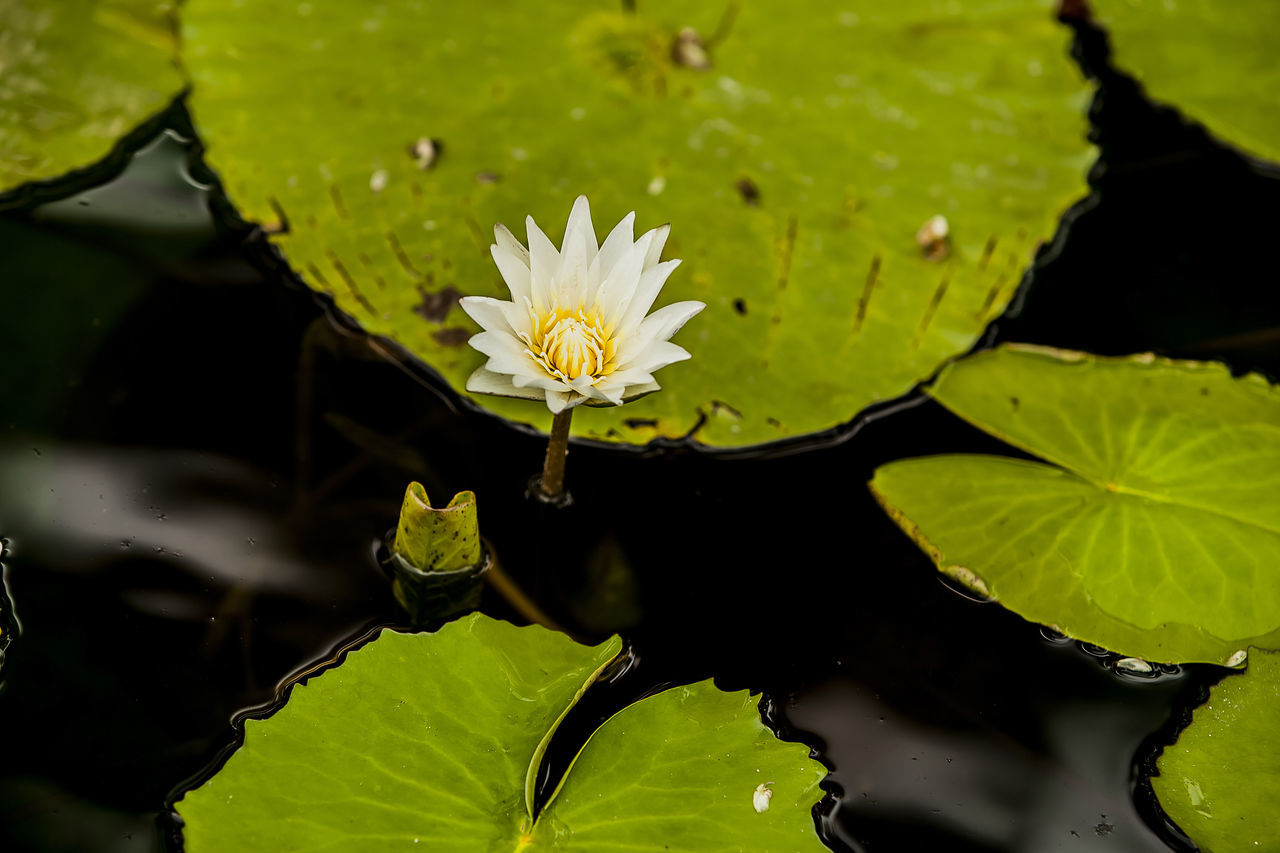 Jogeasa Buddist Temple Water Lily White Flower