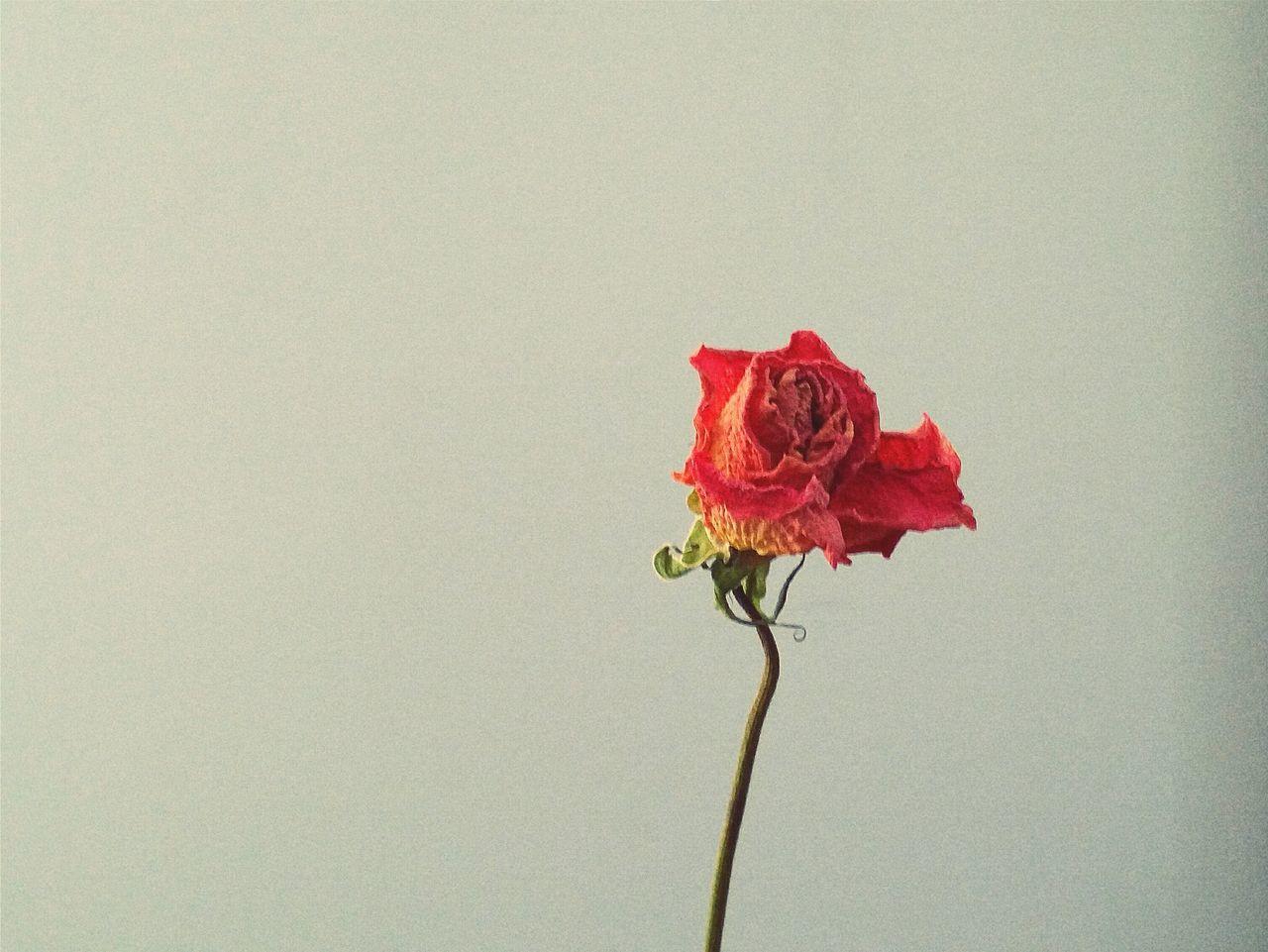 Enjoy The New Normal Flower Red Flower Head Nature Itshurt Itlookssosad Backgrounds