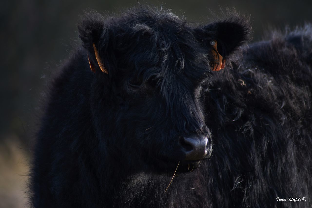 Animal Themes Black Color Close-up Galloway Livestock Mammal Outdoors Wild Cows