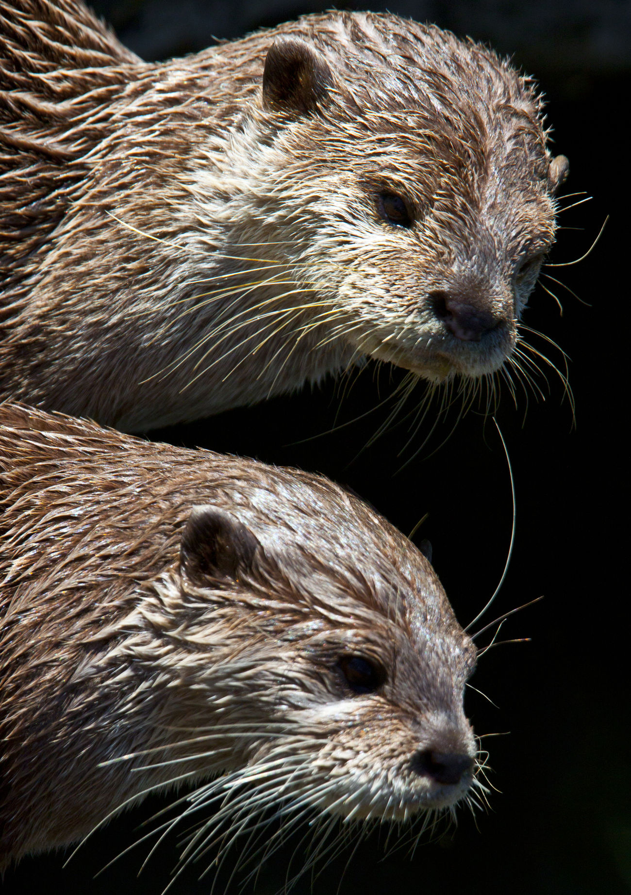 Animal Themes Animal Wildlife Animals In The Wild Close-up Couple Mammal Nature Otter Otters Outdoors Pair Two Whiskers