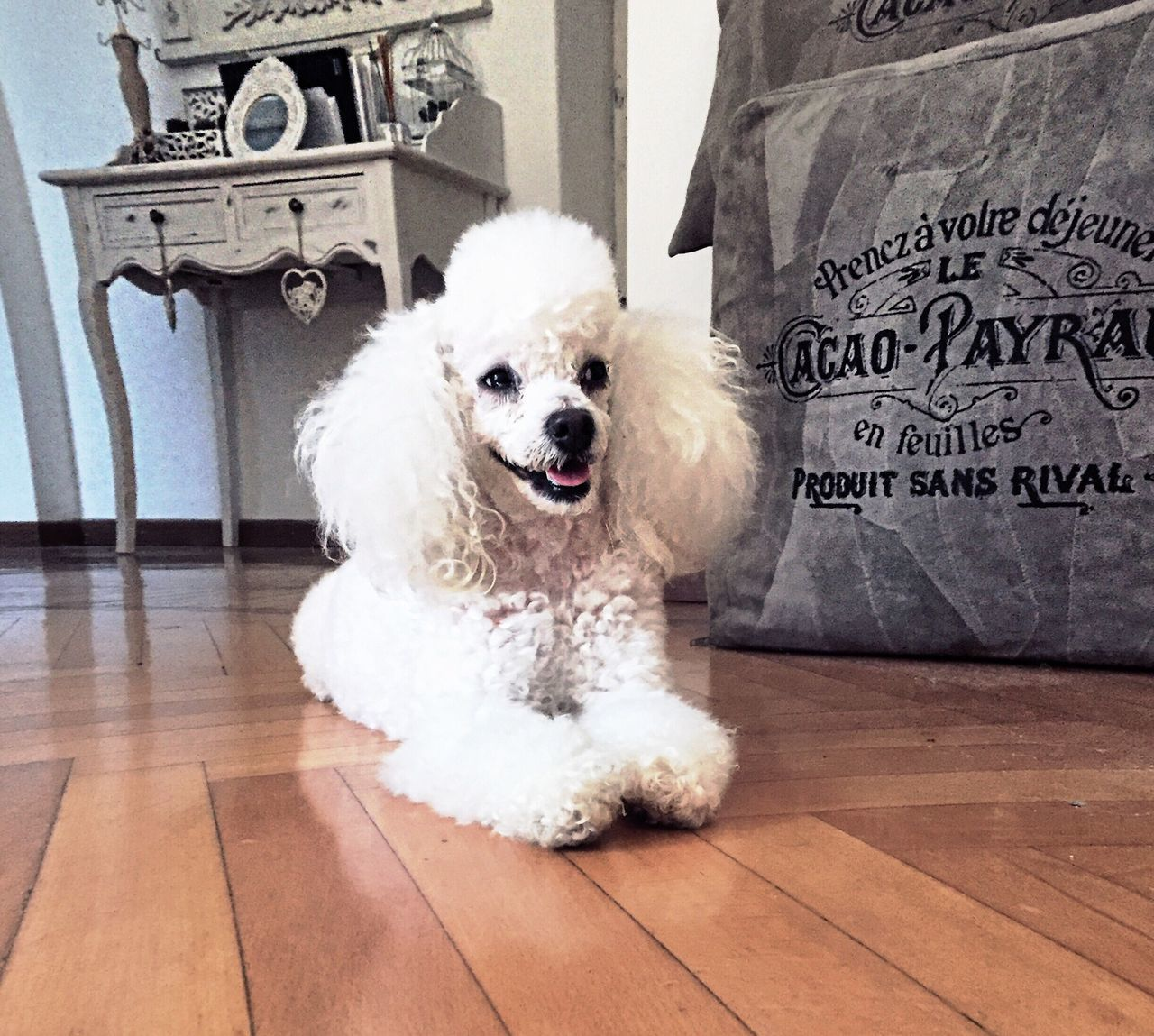 Dog Poodle Toy Poodletoy Poodlemania Puppy Pet Leisure Home Love Pose