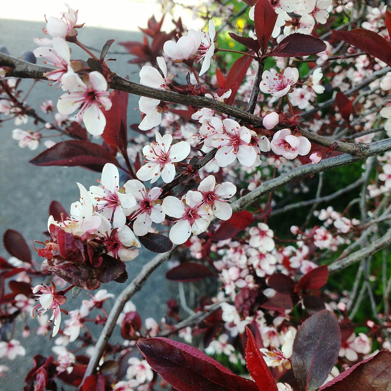 Shubert Choke Cherry Flowers Flower Blossom Growth Choke Cherry Blossoms Tree Nature Springtime Fragility Beauty In Nature Freshness Branch Botany No People Pink Color Day Close-up Outdoors Flower Head Visual Feast Live For The Story Popular Beautiful Eye4photography  Eyeem Collection