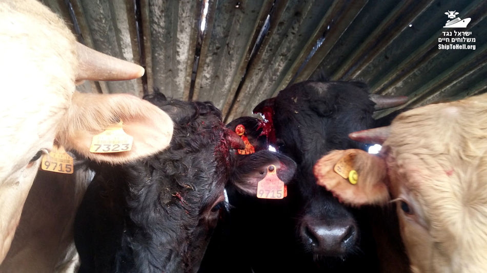 Livestock Animal Animal Rights Cruelty Cattle Cow Cows Suffering Livestockphotography Animals Trucks Close-up Bleeding