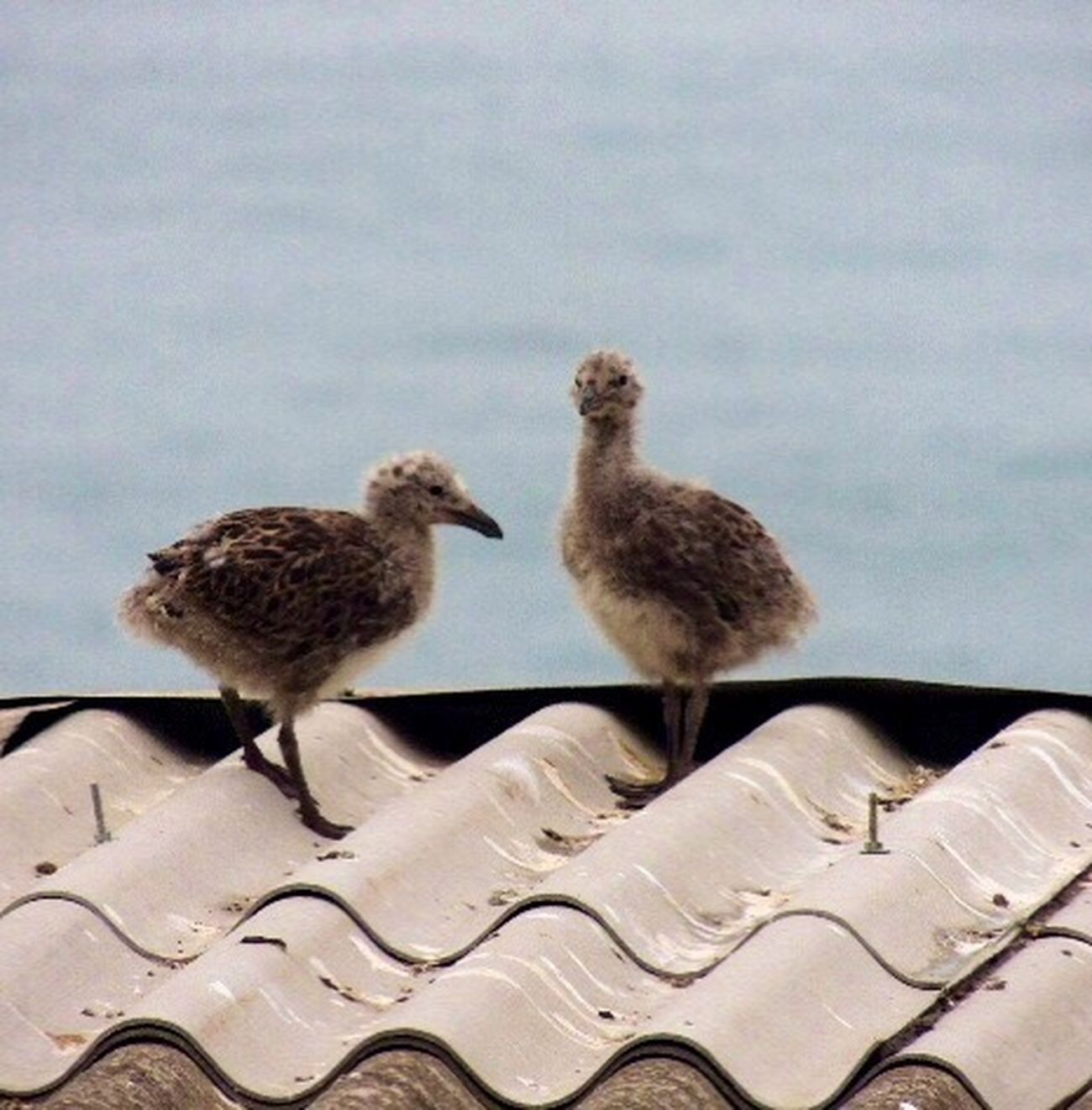 One month later... Have A Nice Week! Chicks Seagulls Seagulls And Sea Birds Of EyeEm  Bird Photography The Life Of Birds From My Lens Capture The Moment FromChile Reñaca Beach , Chile