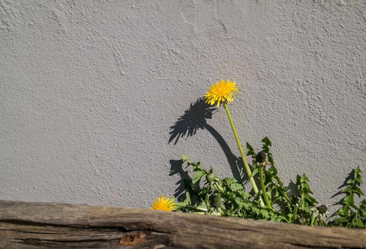 Dandelion with shadow on grey wall Beauty In Nature Blooming Close-up Dandelion Day Flower Flower Head Fragility Freshness Grey Growth Leaf Nature No People Outdoors Plant Shadow Shadows & Lights Sunlight Wall - Building Feature Wood Beams Yellow Yellow Flower