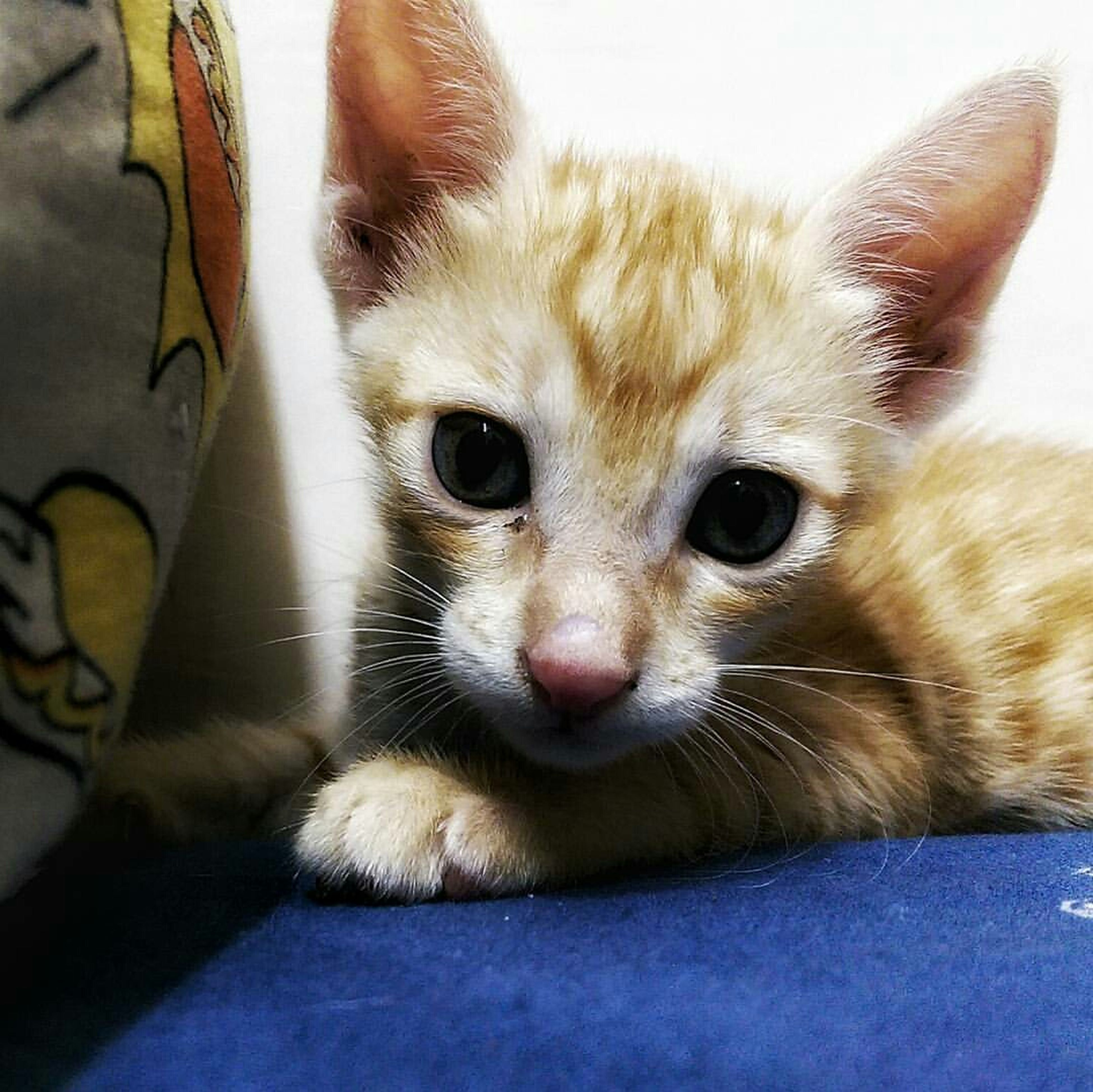 animal themes, pets, domestic animals, one animal, domestic cat, indoors, mammal, cat, portrait, looking at camera, feline, whisker, relaxation, close-up, young animal, home interior, kitten, animal head, lying down, cute