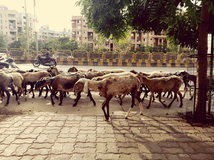 Citystreet June Noontime  Domestic Animals Large Group Of Animals Livestock Sheep Pune City