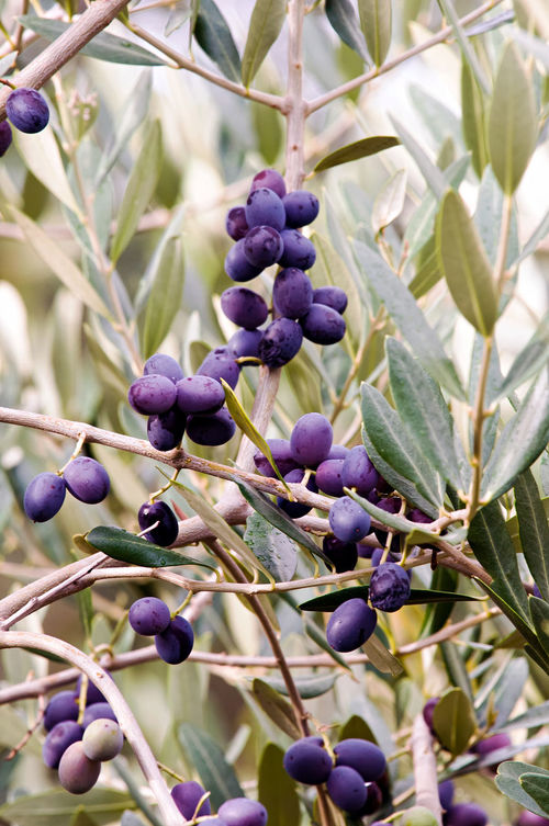 Foliage and purple fruits of olive tree (Olea sp.). Olive Tree Beauty In Nature Black Olive Close-up Day Foliage Freshness Fruit Fruits Growth Nature No People Olea Outdoors Plant Purple Tree