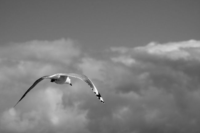 Animal Themes Bird Flying Nature On The Fly Open Wings Seagull Spread Wings In Motion Horizon
