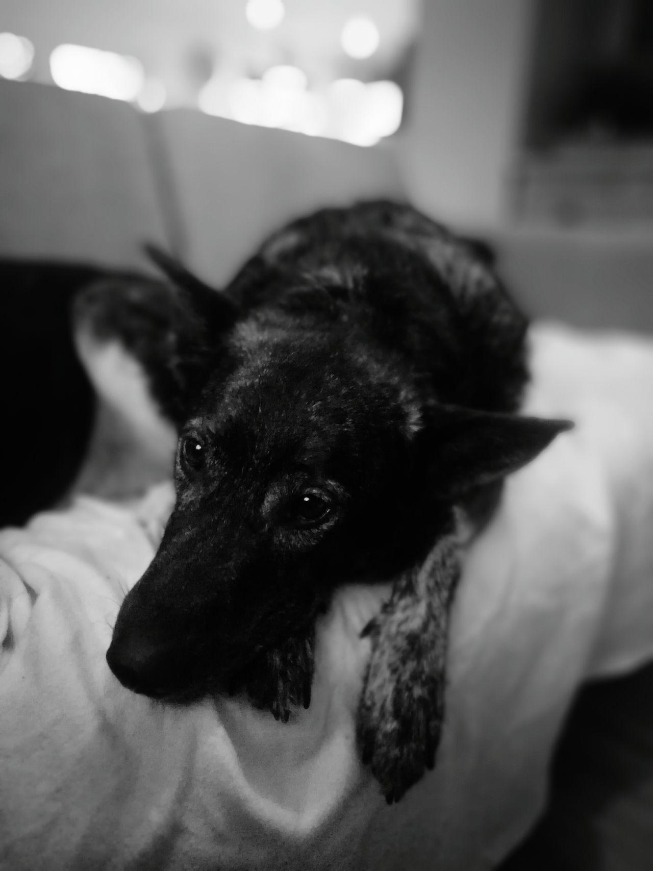 My cutie Rocky. Animal Pets Animal Themes Indoors  Black Color Dog Snugglebuddy