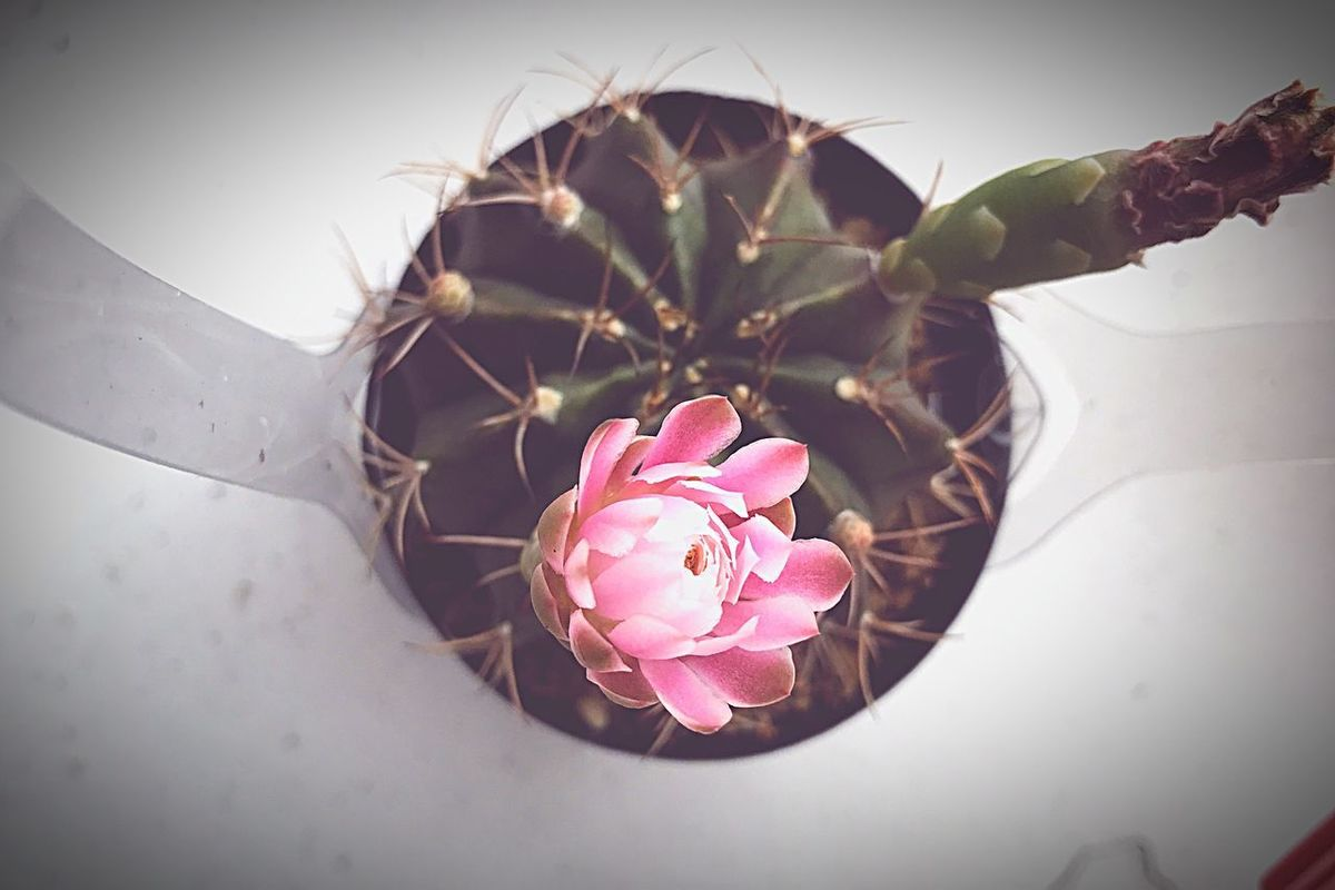 Pink Color Flower Growth Fragility Freshness Cactus Flower 😚 Succulent Plant SucculentsLover Unusual Plants Blooming