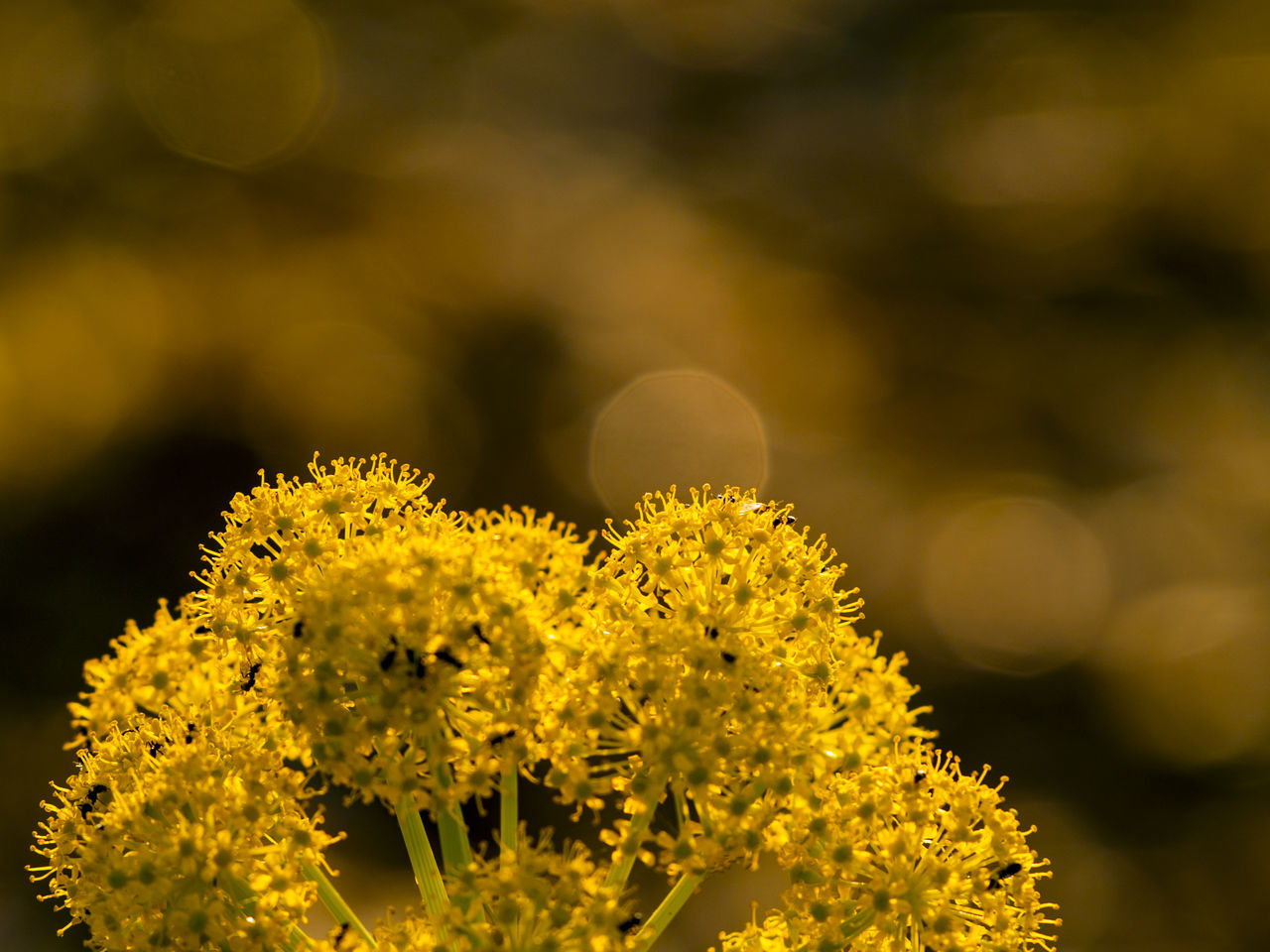 Copy Space Thapsia Thapsia Villosa Beauty In Nature Blooming Close-up Deadly Carrots Flower Flower Head Flowerporn Flowers Focus On Foreground Fragility Freshness Growth Nature No People Outdoors Petal Plant Space For Copy Space For Text Wild Flowers Wild Plants Yellow Paint The Town Yellow