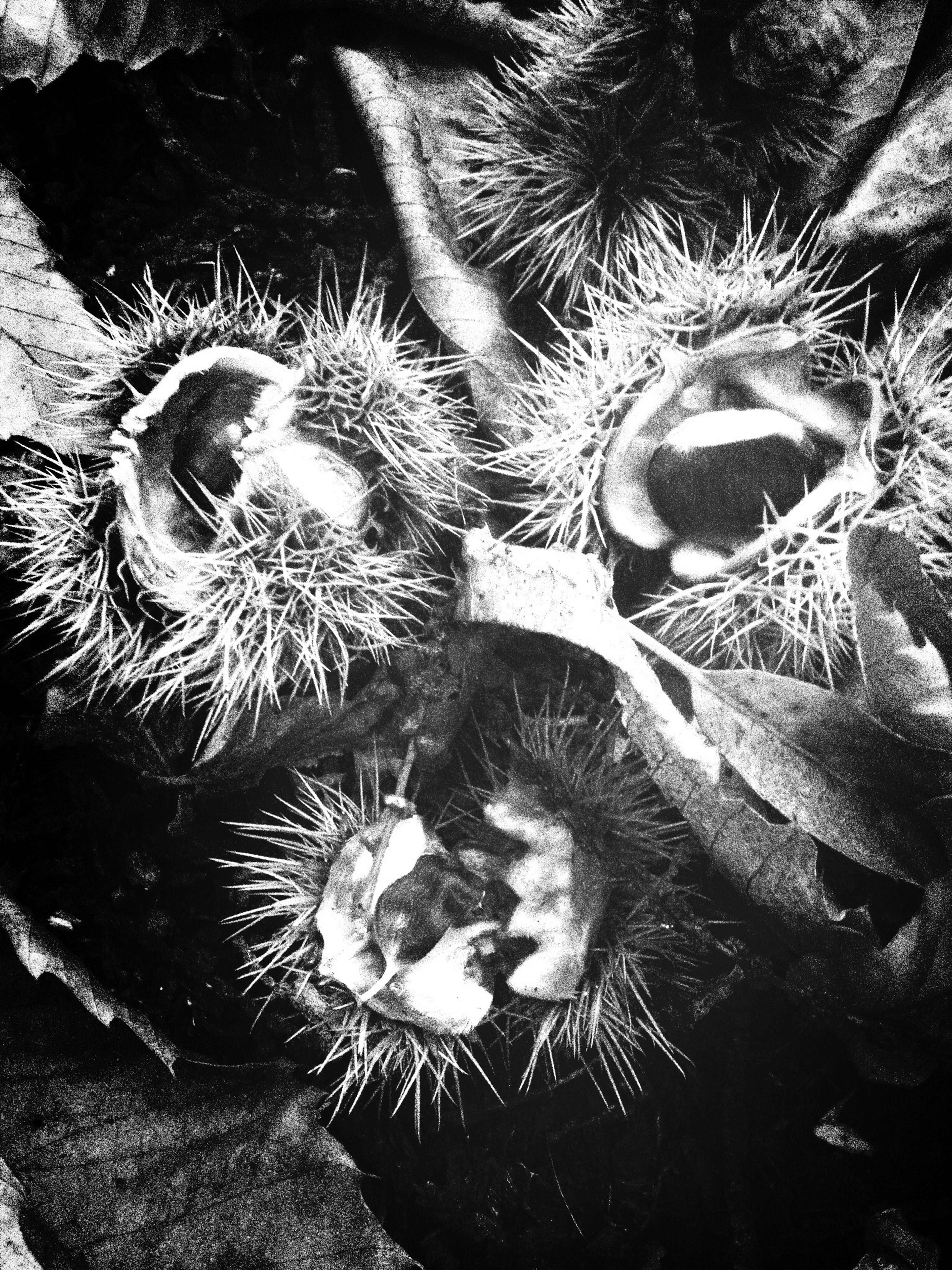 Still life with chestnuts Click London AMPt_community Eye4black&white  Blackandwhite
