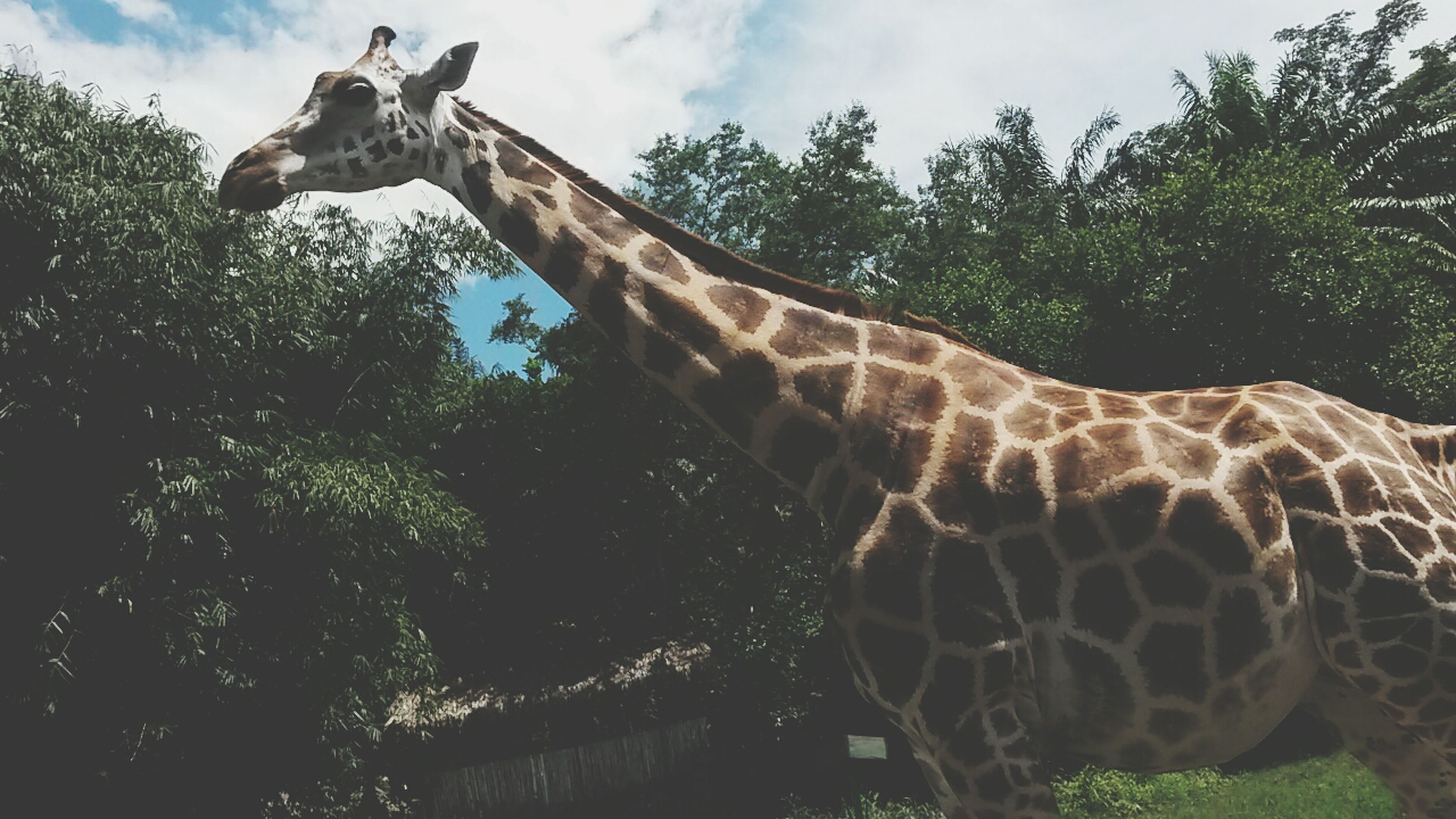 tree, animal themes, giraffe, animals in the wild, sky, low angle view, wildlife, one animal, safari animals, nature, growth, day, animal markings, animal representation, mammal, no people, sculpture, outdoors, art and craft, plant