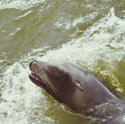 Sea Lions Animals Water