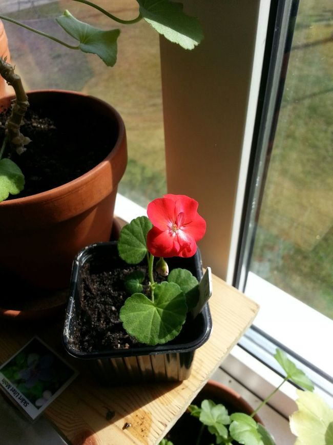 Little Lady  Geranium Pelargonium Flower Flowers