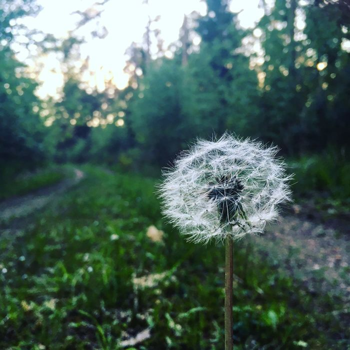 Waldspaziergang Flower Dandelion Nature Focus On Foreground Flower Head Beauty In Nature Outdoors Wood Fathersday2017 Wiese  Green Leaves Green Nature Fragility Dandelion Seed Plant Wildflower Wendelstein