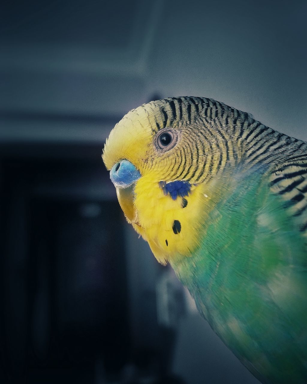 bird, parrot, one animal, animal themes, animals in the wild, yellow, animal wildlife, close-up, budgerigar, no people, blue, beak, nature, day, indoors, beauty in nature, perching, gold and blue macaw, macaw
