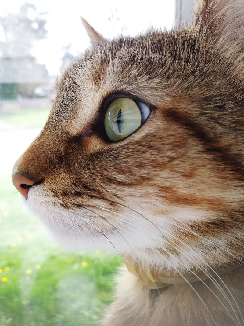Reflection In Eye Domestic Cat One Animal Whisker Close-up Portrait BYOPaper!