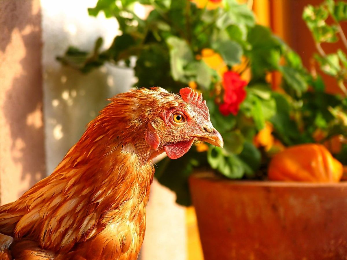 Animal Themes Close-up Colorful Day Domestic Animals Nature No People One Animal Outdoors Portrait Portrait Photography Rooster