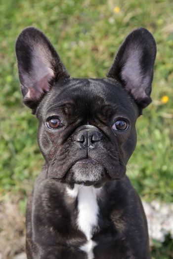 EyeEm Selects One Animal Pets Dog Bulldog Animal Domestic Animals Looking At Camera Animal Themes Close-up Outdoors No People Puppy