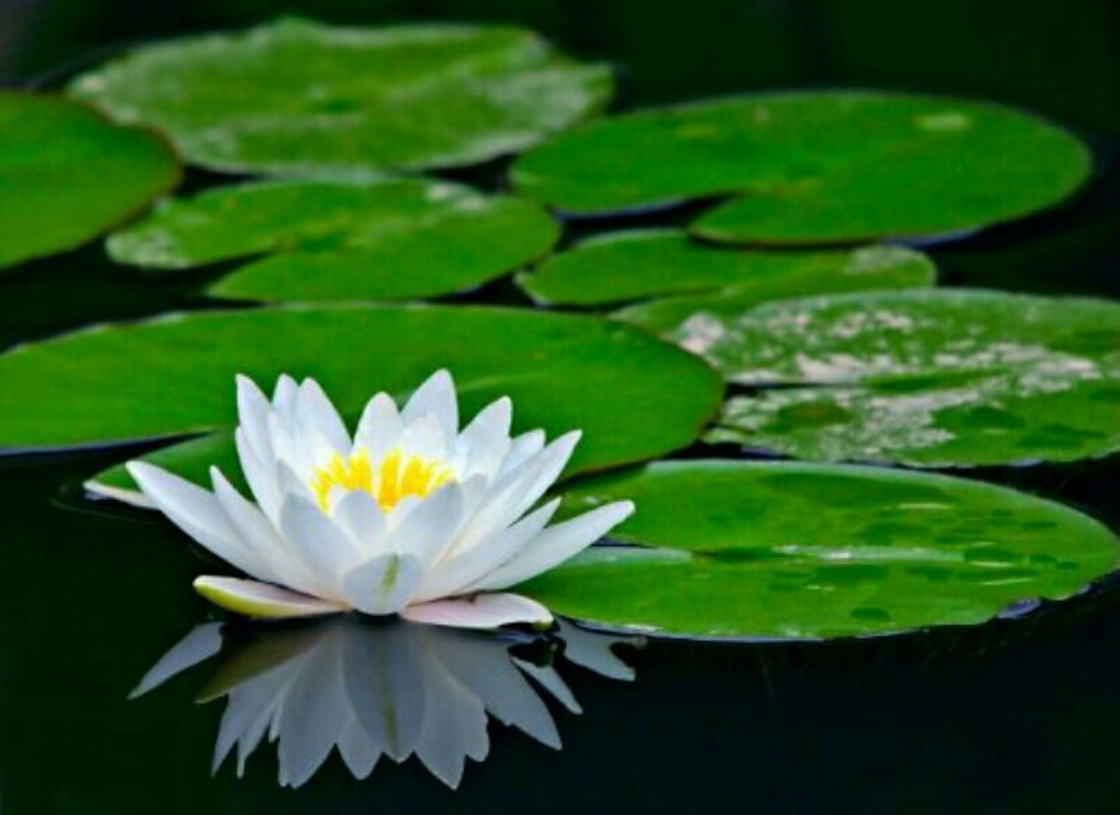 water lily, flower, petal, freshness, pond, fragility, leaf, floating on water, lotus water lily, flower head, water, growth, beauty in nature, white color, nature, single flower, plant, green color, close-up, lake
