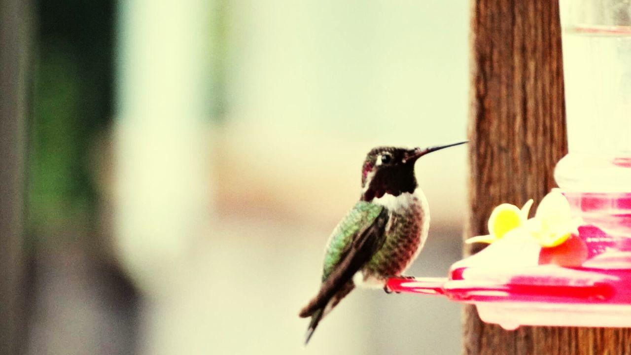 Humming Animal Themes Bird Bird Feeder Nature Perching Hummingbird Focus On Foreground Animals In The Wild Outdoors No People