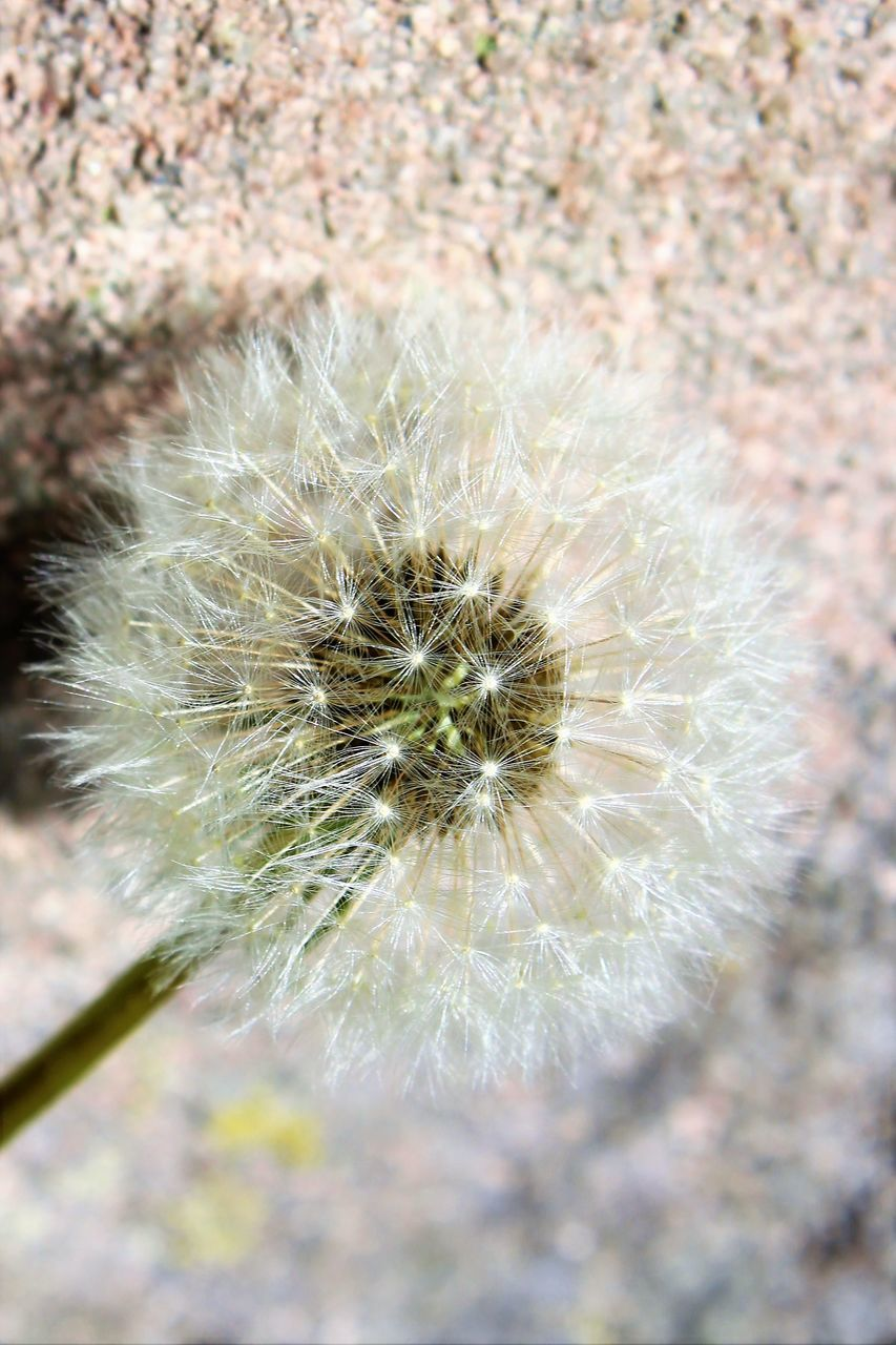 flower, dandelion, fragility, nature, growth, softness, flower head, wildflower, freshness, uncultivated, close-up, plant, beauty in nature, focus on foreground, outdoors, day, no people
