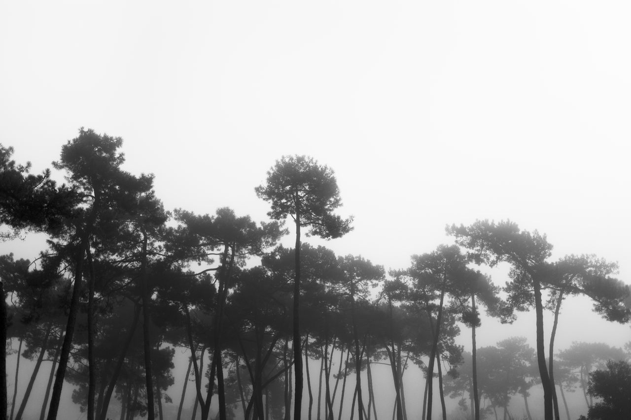 Beauty In Nature Black And White Blackandwhite Blackandwhite Photography Clear Sky Day Fog Foggy Day Foggy Morning Growth Landscape Lanscape_Collection  Low Angle View Nature Nature_collection No People Outdoors Pine Tree Scenics Silhouette Sky Tranquility Tree