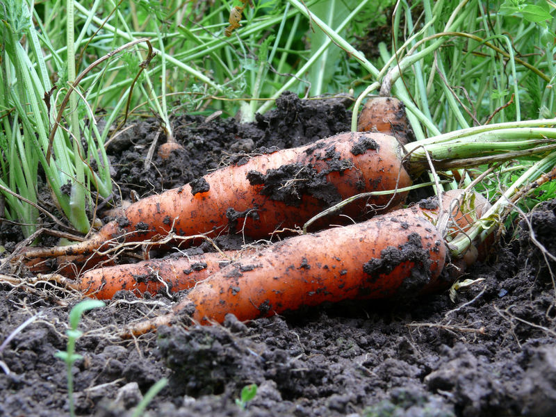 Anbau Bioanbau Carrots Close-up Day Ernte Field Grass Mohrrüben Möhren Nature No People Outdoors Wurzelgemüse Wurzeln