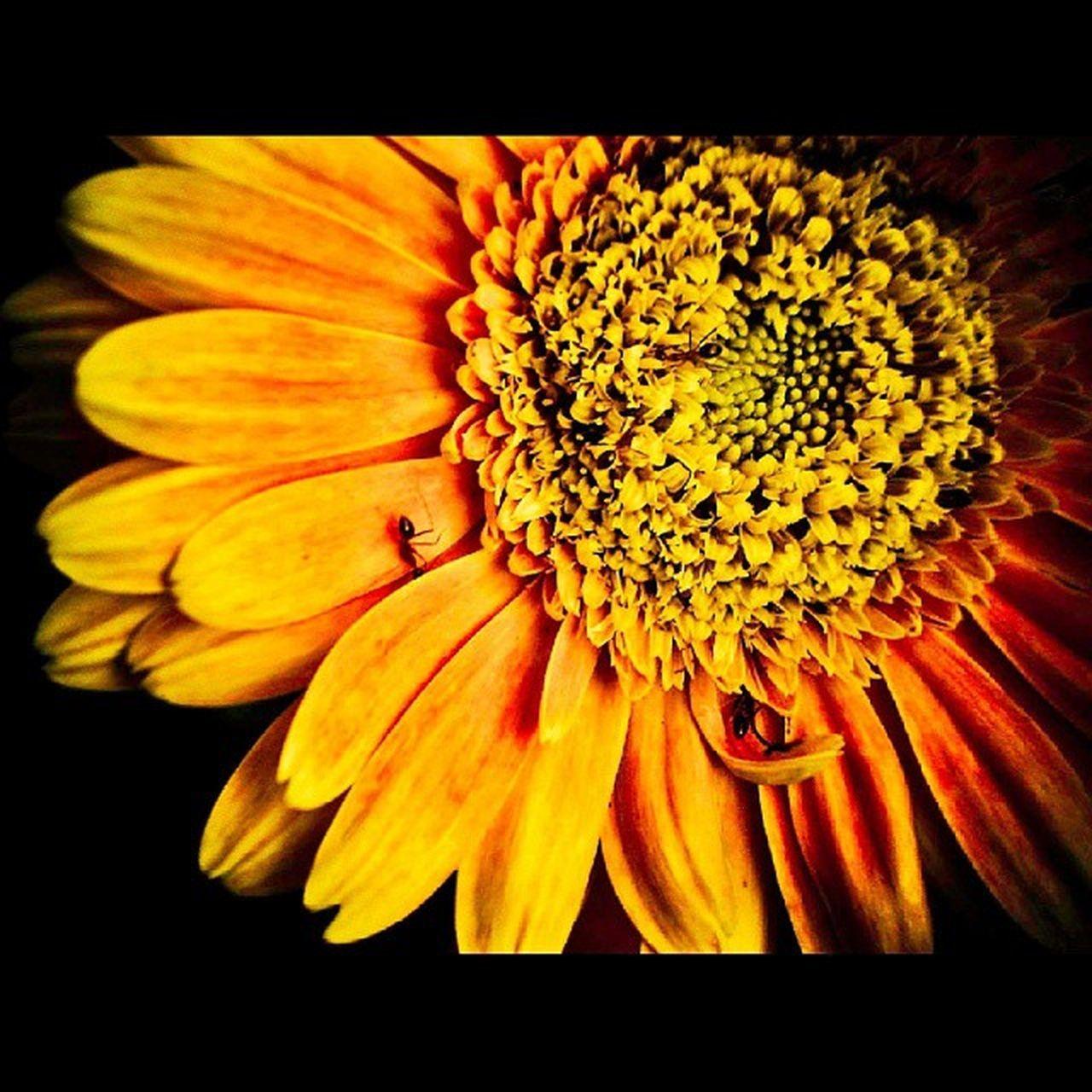 Itsyellow Bloom Flower Yellow Ants Waiting Superblybored Yetanotheroldclick EyeEmNewHere