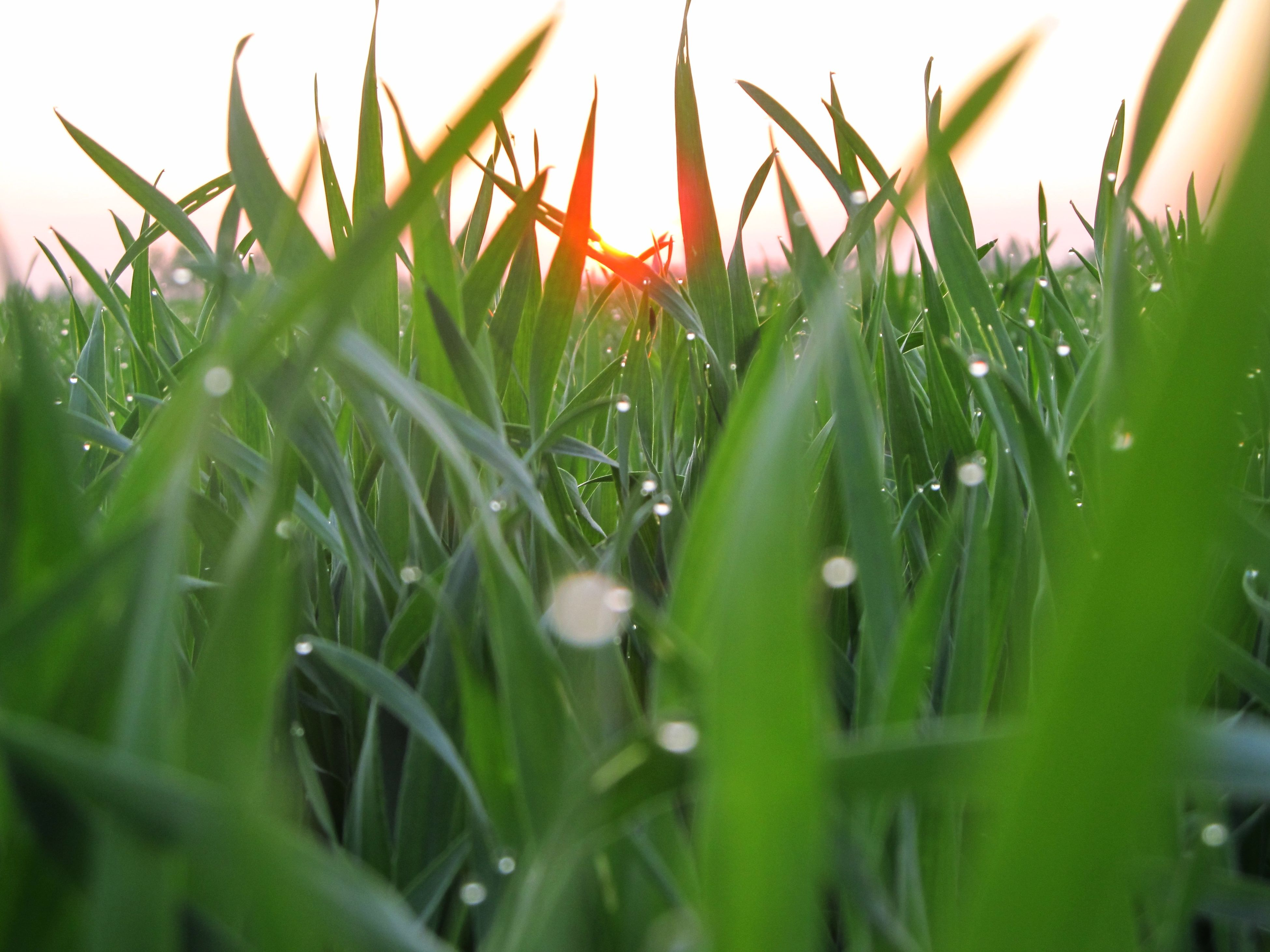 grass, growth, blade of grass, field, plant, green color, nature, beauty in nature, close-up, selective focus, tranquility, focus on foreground, sunlight, growing, outdoors, freshness, sunset, drop, no people, grassy