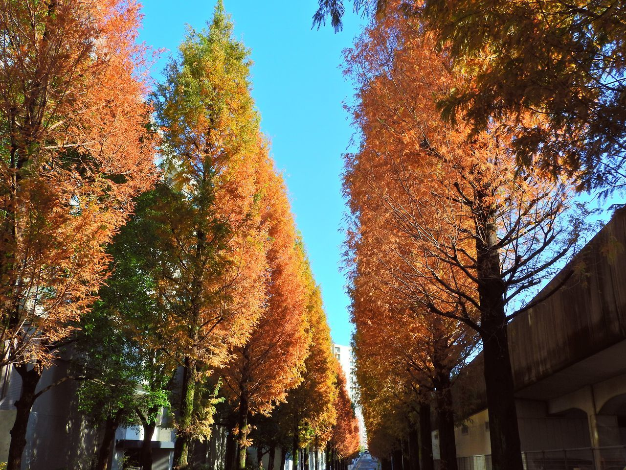 Colonnade of Trees Beauty In Nature Day Growth Low Angle View Multi Colored Nature No People Outdoors Sky Tree