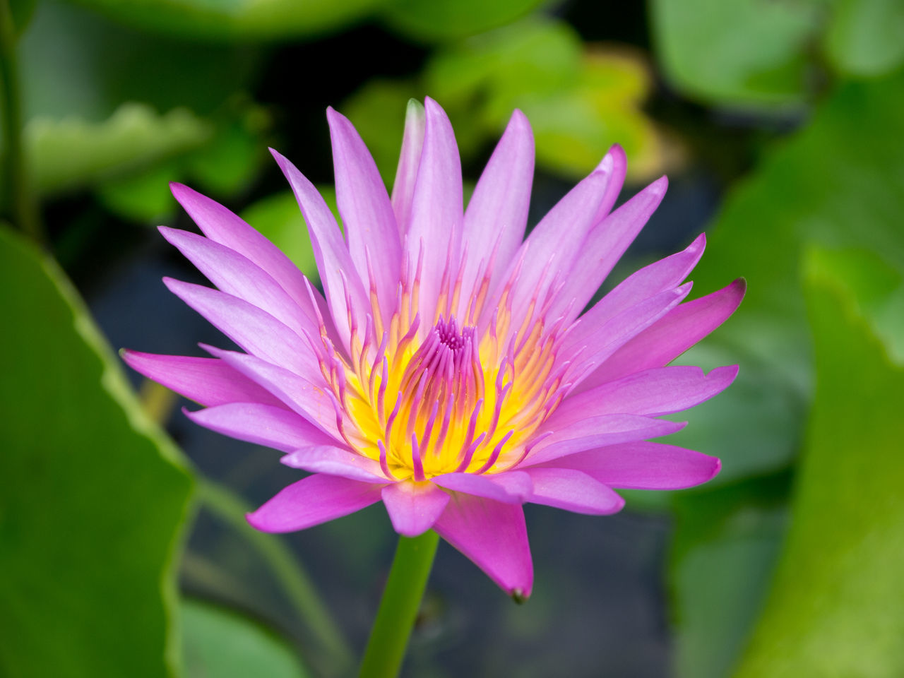 Blooming Purple Lotus in Pond Beauty In Nature Blooming Close-up Day Flower Flower Head Fragility Freshness Growth Lotus Lotus Water Lily Love Nature No People Outdoors Petal Plant