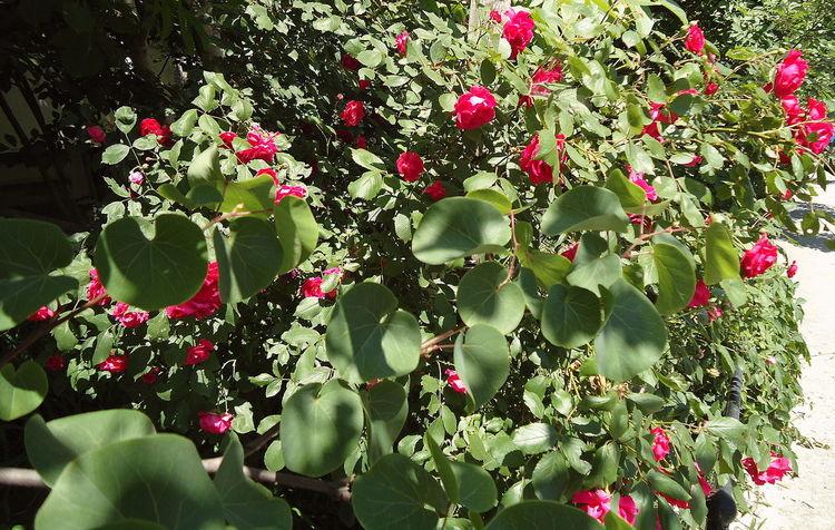 Blooming Blossom Bush Bushes Flowers Leaves Novorossiysk Roses Pink & Green Plants Roses Shades Shadows Shrub Shrub Roses Summer Vegetation Verdure