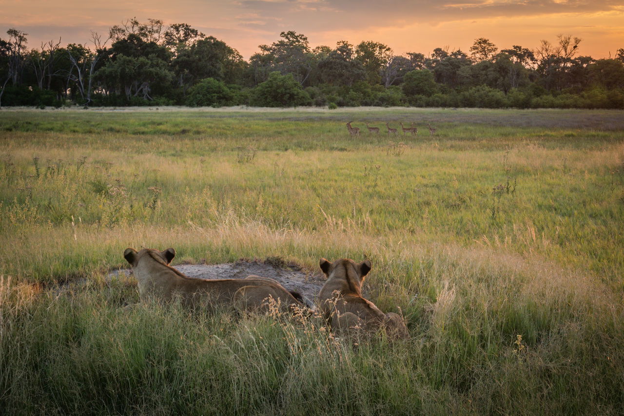 Rear View Of Alert Lionesses Looking At Deer On Grassy Field