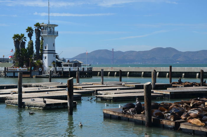 Animals Bridge Golden Gate Bridge Lighthouse Mountain Mountain Range Palm Trees Pier 39 Resting Sea Lion Sea Lions Sea Lions In San Francisco Sky Water