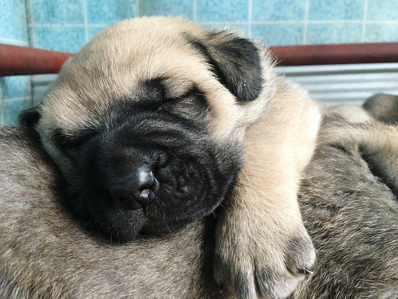 Cutie pie ❤🐶 Pets Dog Dogs Babyboy Babydog Mastin Español Mastín Leonés Mastin Mastiff